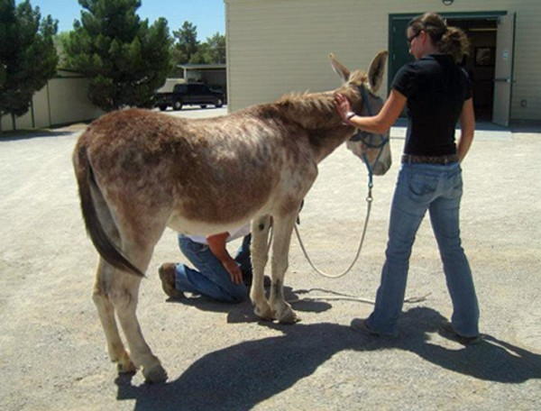 Harriett was a beautiful strawberry roan donkey who suffered from severe neglect of her feet.