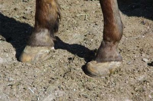 She was reluctant to stand and had advanced hoof disfigurement due to untreated laminitis.