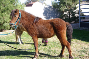 BayBe Boy came into L.E.AN. in early March 2012 as a pony stallion with a locking stifle (knee) problem.