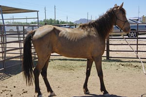 Charlie came into L.E.AN. in early June 2012 with another horse, Journey.  Both were surrendered to Animal Control by their owner in a malnourished state.