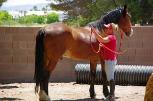 Fortunato needs a home with a patient and confident rider. He has been ridden on the trail in his past and saddles easily.