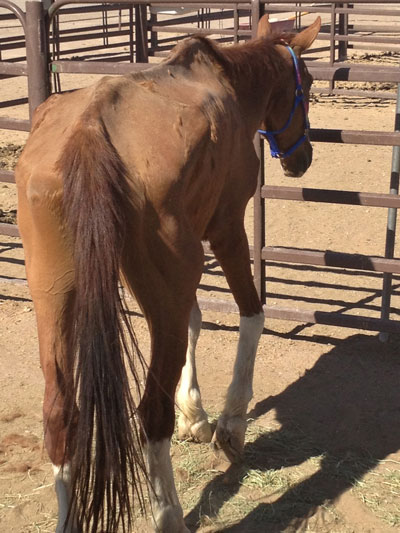 June 2012 - Neglect/cruelty seizure of this Nevada-born mustang by Animal Control was mere hours before it would have been too late