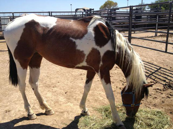 A pretty paint mare, approx. 8 yrs old, abandoned by her owner with 2 other horses they no longer could care for