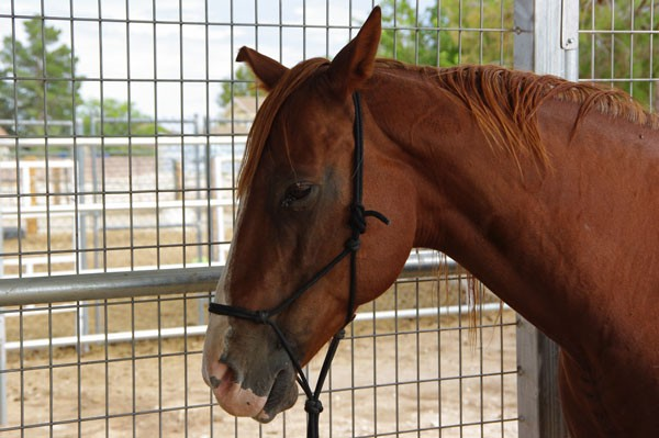Sad and abandoned, this sweet sorrel mare was lame in front and missing a chunk of ear