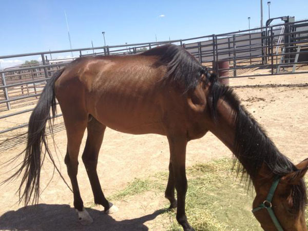 Abandoned to Animal Control with Lucy and Earl, little Whiskey was a sad, thin stud colt.