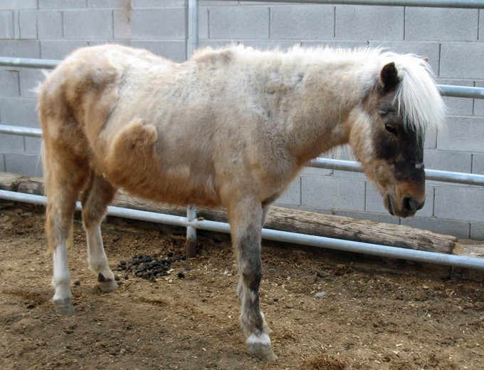 This sad older pony was surrendered to Animal Control in poor shape