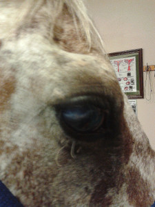 She is blind in her right eye due to chronic uveitis which is not active at this time