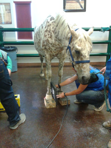 Xrays reveal she does have slight rotation in one hoof that vets feel can be supported by proper shoeing
