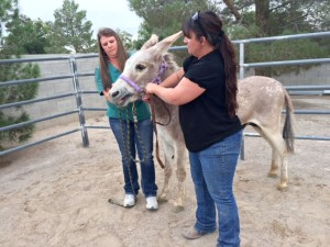 He is very ill-mannered and aggressive, and is taken immediately to Desert Pines Equine for castration surgery