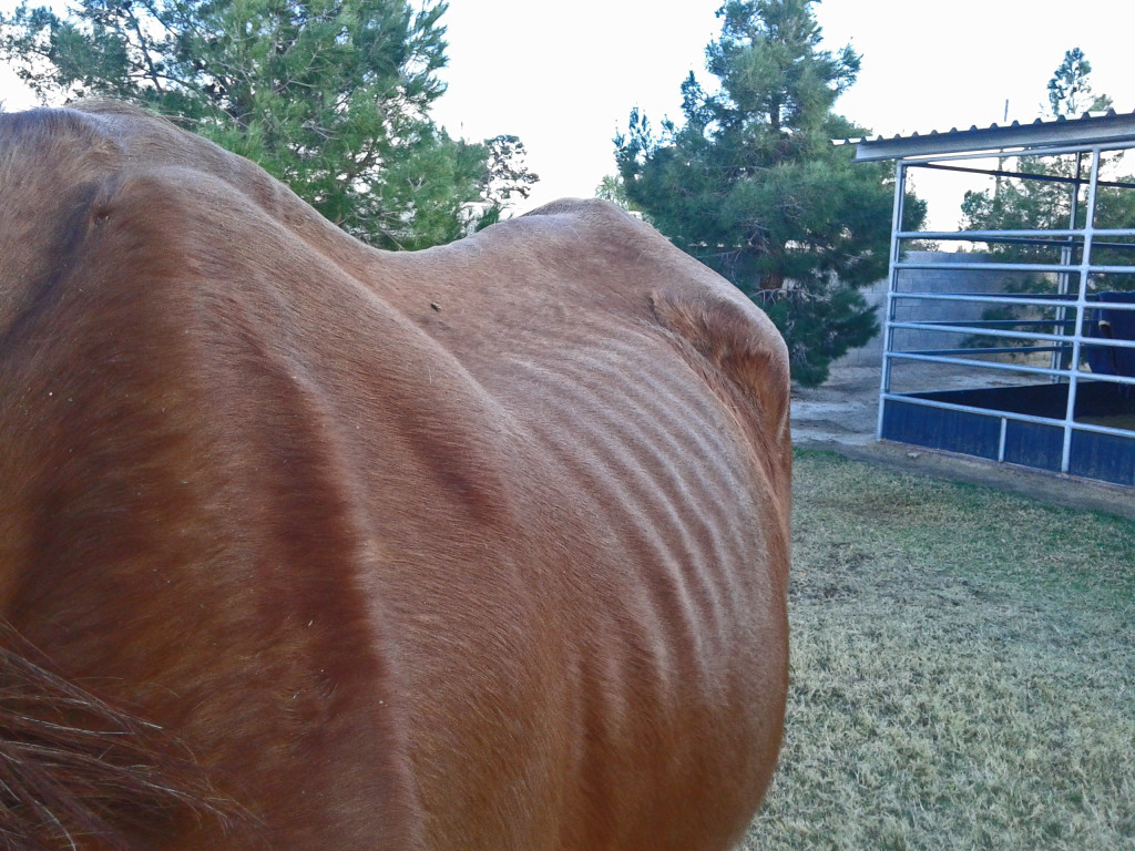 Dec 2016 - Clover is the luckier of two horses seized by Animal Control; the other did not survive this abuse.