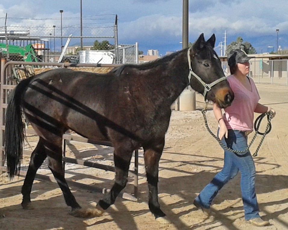 Delilah came to L.E.A.N. in January from The Animal Foundation and is a 15.3hh quarterhorse mare approx. 8 years old.